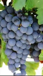 ワインを楽しむための基礎知識?ブドウで味の特徴がわかる知っておきたいこと!