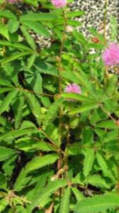オジキ草の葉