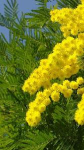 花をつけたミモザの木